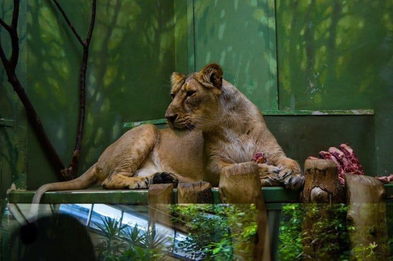praha_zoo_tiger